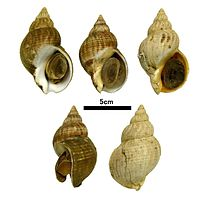 Buccinum undatum from England