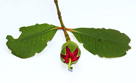 Bud of Mangrove Apple.JPG