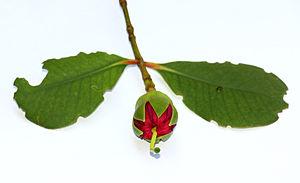 Sonneratia caseolaris - Bud of mangrove apple