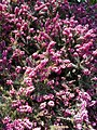 Buda Arboreta. Lower Garden. Winter heath (Erica carnea). - Budapest.JPG