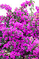 Buganvilla Flowers (3080656085).jpg