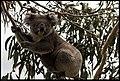 Buiobuione koala 2.jpg