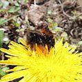 Bumblebee (Bombus hypnorum) on a dandelion, Sandy, Bedfordshire (8694209950).jpg
