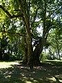 Burggarten, Platane, 2020 Pápa.jpg