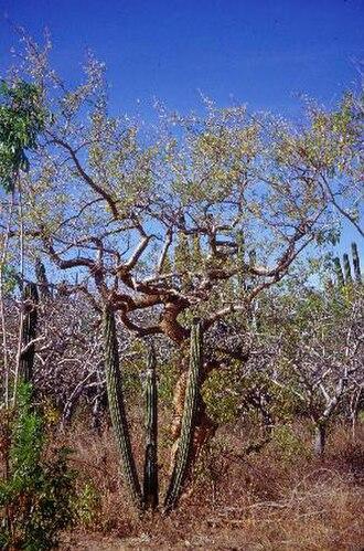 San Lucan xeric scrub - Bursera microphylla near Todos Santos, Baja California Sur.