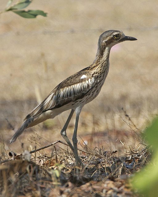 http://upload.wikimedia.org/wikipedia/commons/thumb/4/4f/Bush_Thick-knee_%28_Burhinus_grallarius%29_-_Flickr_-_Lip_Kee_%281%29.jpg/512px-Bush_Thick-knee_%28_Burhinus_grallarius%29_-_Flickr_-_Lip_Kee_%281%29.jpg