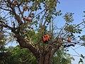 Butea monosperma tree.jpg