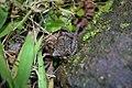 Butler's Pygmy Frog (Microhyla butleri) 粗皮姬蛙13.jpg