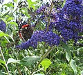 Butterfly and Buddleia - geograph.org.uk - 203465.jpg