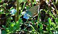 Butterfly in Elatia forest - 1.jpg