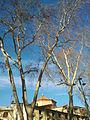 Céret - Platanes église hiver 2.jpg