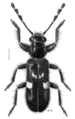 COLE Cleridae Phymatophaea.png