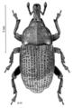 COLE Curculionidae Homoreda murina.png