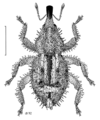 COLE Curculionidae Synacalles histriculus.png