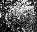 COLLECTIE TROPENMUSEUM Melocanna humilis in de Plantentuin te Sibolangit Oostkust van Sumatra is een in het ravijn groeiende bamboesoort die door de Bataks als binnenpijp van hun blaasroer wordt gebruikt TMnr 10010809.jpg
