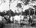 COLLECTIE TROPENMUSEUM Padi-oogst met maaimachine (vooraanzicht) Buitenzorg TMnr 10011137.jpg