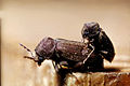 CSIRO ScienceImage 1056 Anobium punctatum beetles.jpg