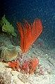 CSIRO ScienceImage 2229 Tropical benthos Gorgonian.jpg