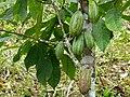 Cacao Tree (Theobroma cacao) green pods (17348751253).jpg