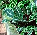 Calathea undulata.jpg