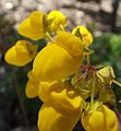 Calceolariasalicifolia.jpg