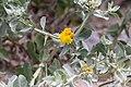Calostephane divaricata-2294 - Flickr - Ragnhild & Neil Crawford.jpg