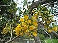 Calpurnia aurea - Kirstenbosch botanical garden - 5.jpg