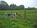 Calves at Red House Farm - geograph.org.uk - 67022.jpg