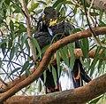 Calyptorhynchus lathami Glossy Black Cockatoo pair 03.jpg