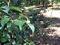 Camellia sasanqua Mine-no-yuki 2zz.jpg