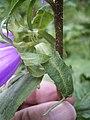 Campanula trachelium stengel en blad.jpg