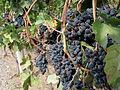 Canada - BC - 10 - the lovely wineries of the Okanagan (4034779039).jpg