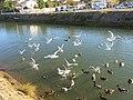 Canards et mouettes dans le Boudigau 2.jpg