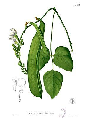Schwertbohne (Canavalia gladiata)