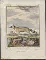 Canis corsac - 1700-1880 - Print - Iconographia Zoologica - Special Collections University of Amsterdam - UBA01 IZ22200281.tif