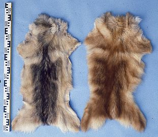 Canis familiaris (Feral dogs of Korea, China) fur skins 2.jpg