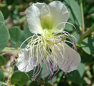 Caper - Thorny caper flower in Nahal Neqarot, southern Israel
