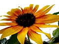 Cappuccino Sunflower (254895110).jpg