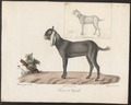 Capra aegagrus - 1700-1880 - Print - Iconographia Zoologica - Special Collections University of Amsterdam - UBA01 IZ21300269.tif