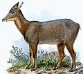 Capricornis swinhoei Joseph Wolf.jpg
