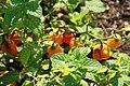 Capsicum chinense Habanero 2zz.jpg