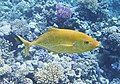 Caranx im Roten Meer...DSCF8269OB.jpg