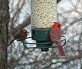 Cardinals at the feeder (4255458510).jpg