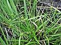 Carex demissa plant (3).jpg