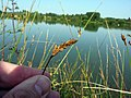 Carex disticha inflorescens (18).jpg