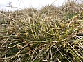 Carex humilis sl8.jpg