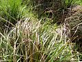 Carex laevigata plants.jpg