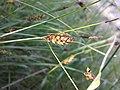 Carex melanostachya sl13.jpg