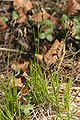 Carex montana (Berg-Segge) IMG 7730.JPG