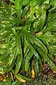 Carex plantaginea 2zz.jpg